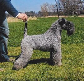 270px-Kerry_Blue_Terrier